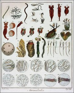 Animacules observed by antoni van Leewenhook Quelle: By Anton van Leeuwenhoek [Public domain], via Wikimedia Commons