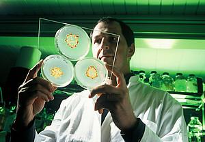 agarplatten-mit-myxobakterien