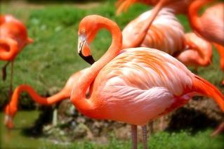 Die Farbstoff der Halobacterien färben das Federkleid von Flamingos rosarot Quelle: CC0- Public domain